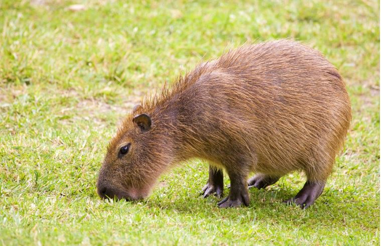 Capybara Top 10 Best Selling Exotic Pets in The World 2017