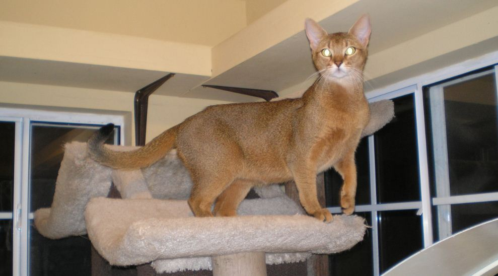 chausie, Top 10 Largest Cat Breeds in The World 2018