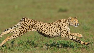 cheetah-top-famous-fastest-animals-in-the-world-2018
