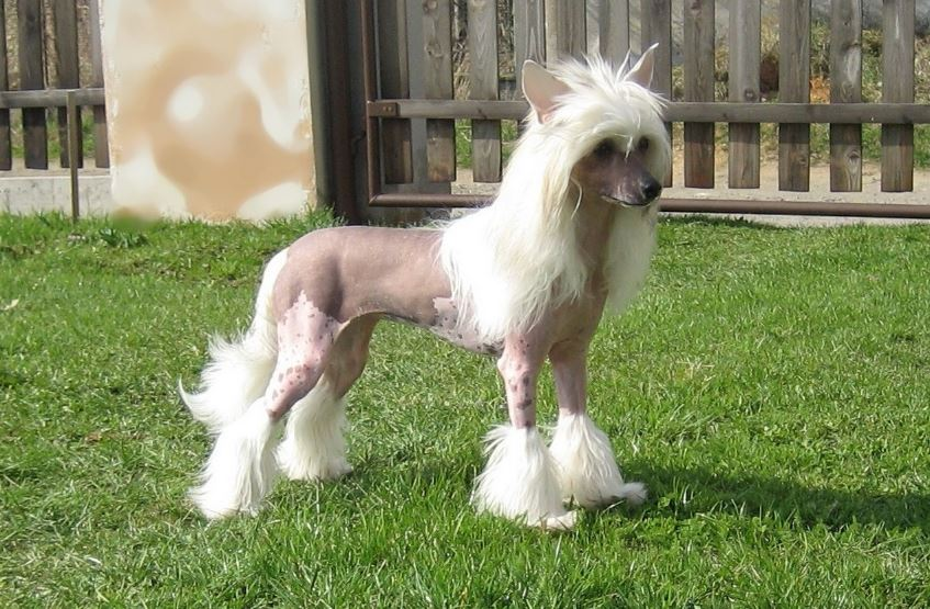 Chinese Crested Hairless Top Most Famous Expensive Dog Breeds 2018