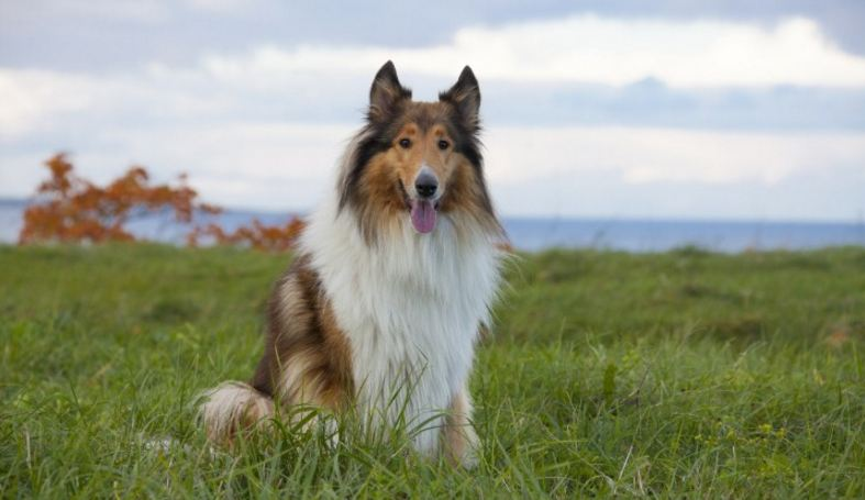 collie, Top 10 Best Dog Breeds to Join Your Family 2017