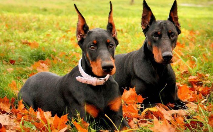 doberman-pinscher-top-most-popular-police-dog-breed-2018