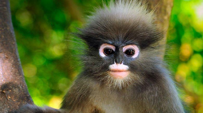 dusky-leaf-monkey-top-popular-amazing-monkeys-breed-2017