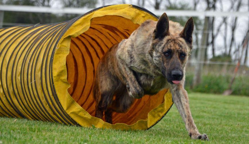 dutch-german-shepherd-top-famous-police-dog-breed-2019