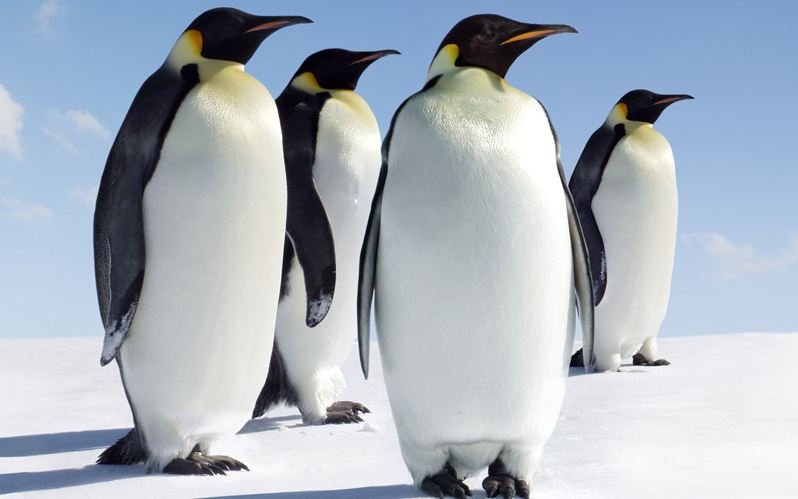 emperor-penguin-top-popular-largest-and-heaviest-living-birds-in-the-world-2018