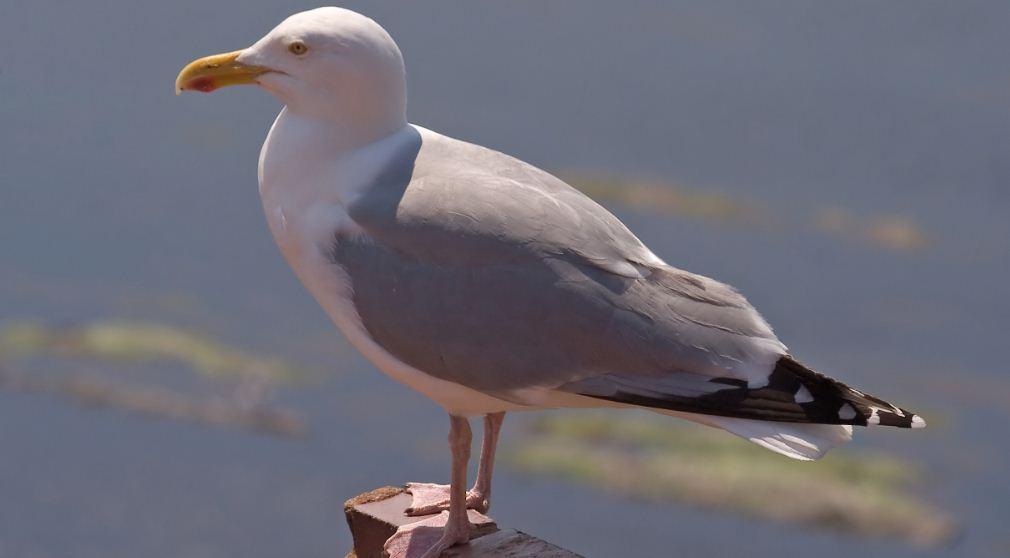 european-herring-gull-top-ten-most-dangerous-birds-on-the-world-2017