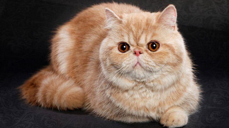 exotic shorthair, Top 10 Best Selling Cat Breeds in America 2018