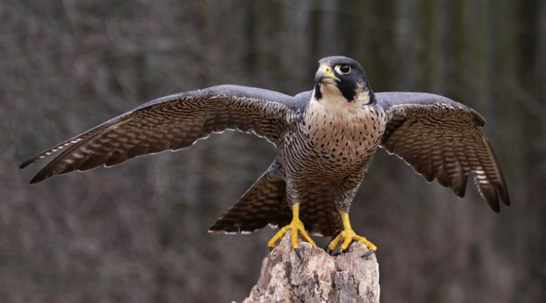 falcon, Top 10 Most Dangerous Birds in The World 2017