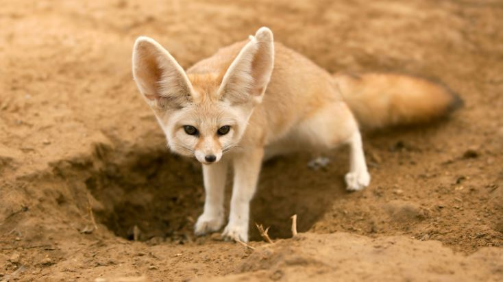 Fennec Fox Top Best Selling Exotic Pets in The World 2017