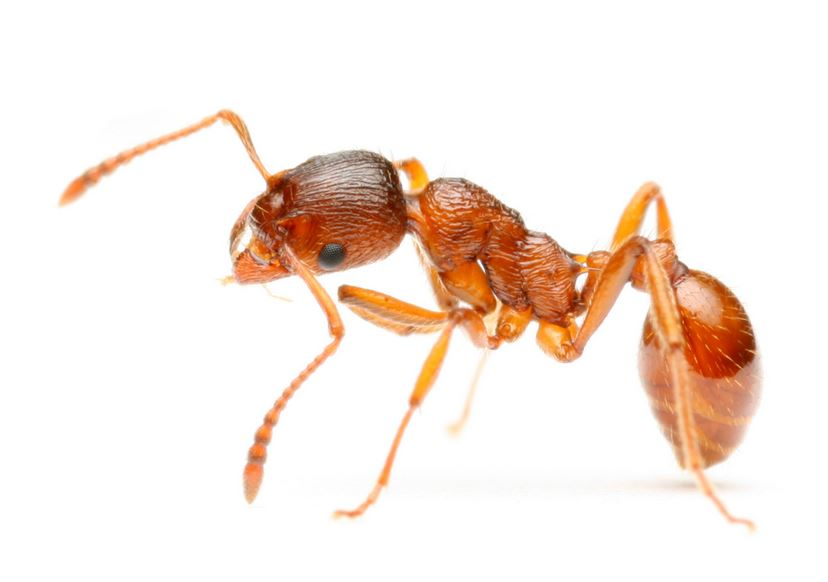 fire-ants-top-famous-deadliest-insects-in-the-world-2018