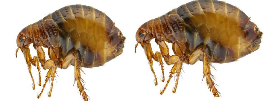 fleas-top-most-popular-deadliest-insects-in-the-world-2018