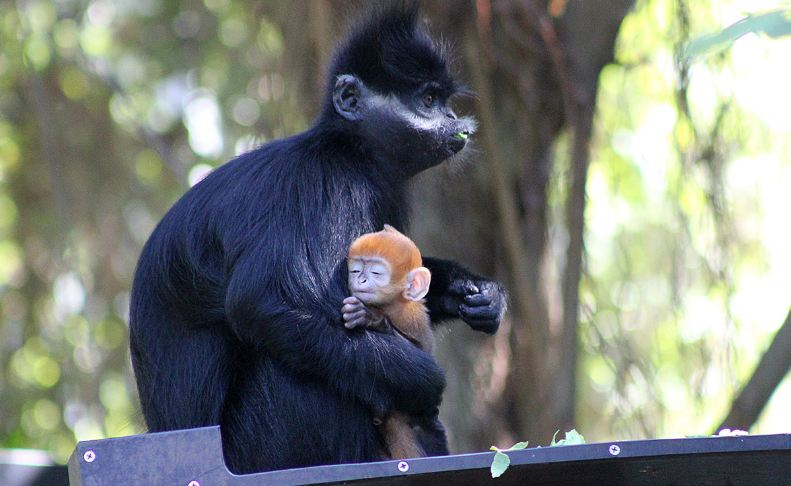 francois langur, Top 10 Most Amazing Monkeys Breeds in The World 2018