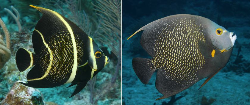 french-angelfish-top-10-beautiful-fishes-in-the-world-2017-2018