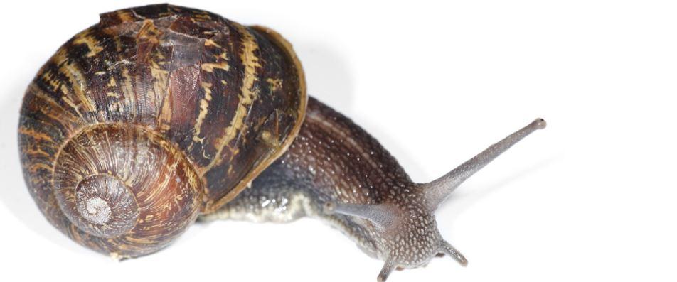 garden-snail-top-10-slowest-animals-in-the-world-2017