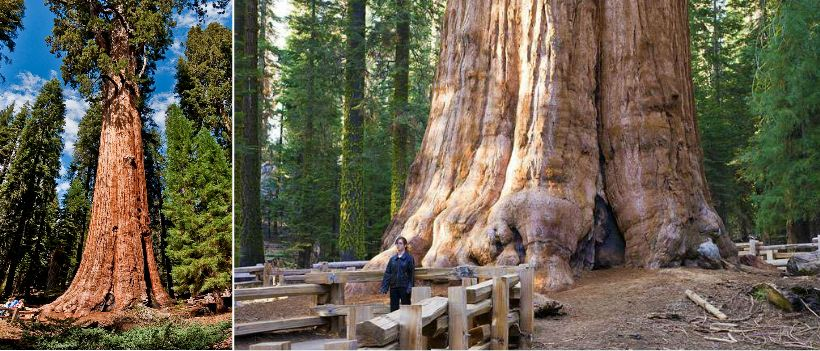 Largest Trees on The Planet Earth 2017, Top 10 List