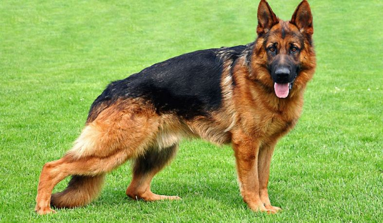 german-shepherd-top-popular-dog-breeds-to-join-your-family-2018