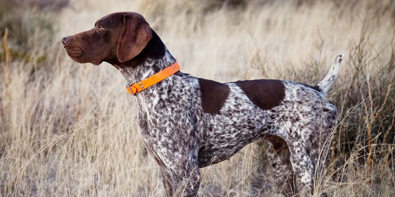 german shorthaired pointer, Top 10 Best Selling Police Dog Breeds in The World 2017