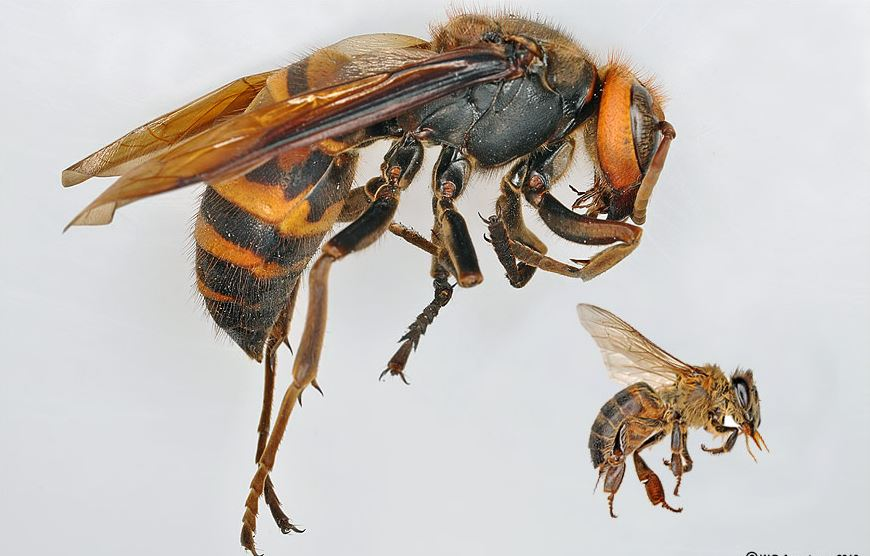 giant-japanese-hornet-top-deadliest-insects-in-the-world