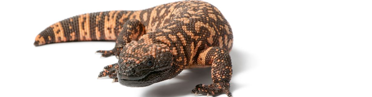 Gila Monster Top Most Famous Slowest Animals In The World 2018