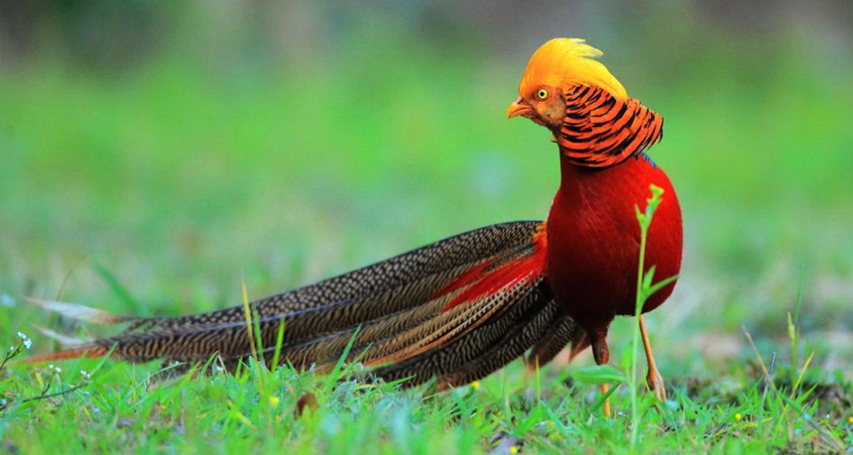 golden-pheasant-top-most-beautiful-birds-in-the-world-2017