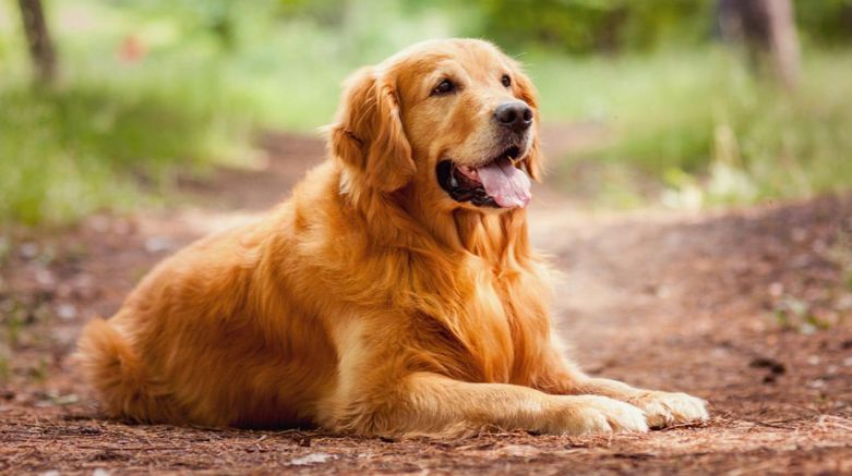 golden-retriever-top-famous-dog-breeds-to-join-your-family-2019