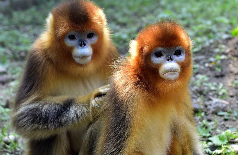 golden-snub-nosed-monkey
