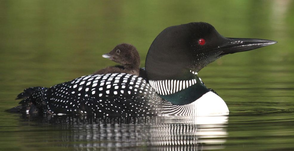 great-northern-loon-top-ten-most-popular-dangerous-birds-on-the-world-2018