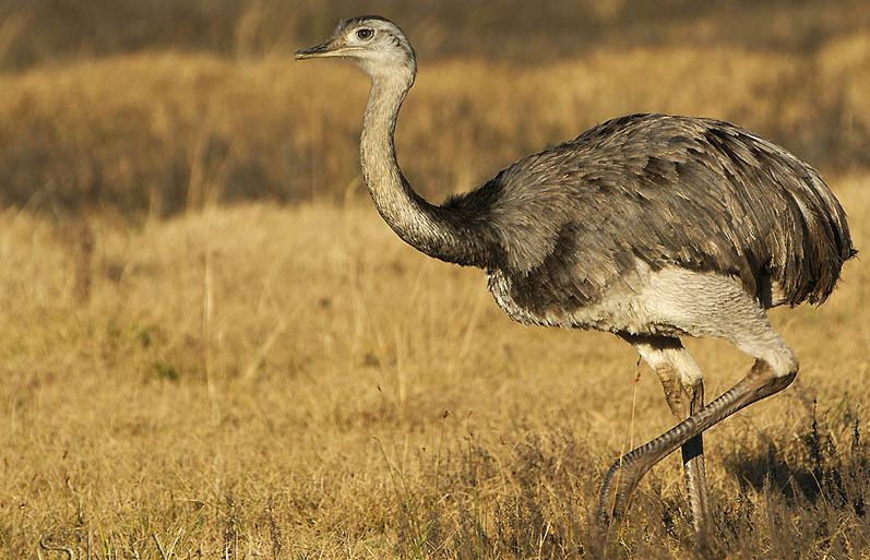 Great Rhea Top Famous Largest And Heaviest Living Birds in The World 2019