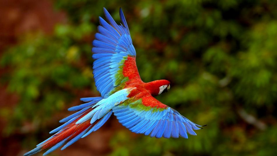 green wing macaw parrot, Top 10 Most Beautiful Birds in The World 2018