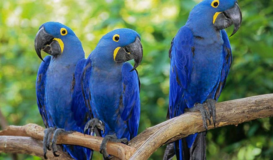 hyacinth-macaw-top-famous-beautiful-birds-in-the-world-2018
