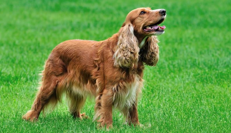 irish-setter-top-10-best-dog-breeds-to-join-your-family