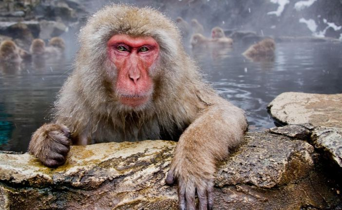 japanese-macaque-top-famous-amazing-monkeys-breed-2018