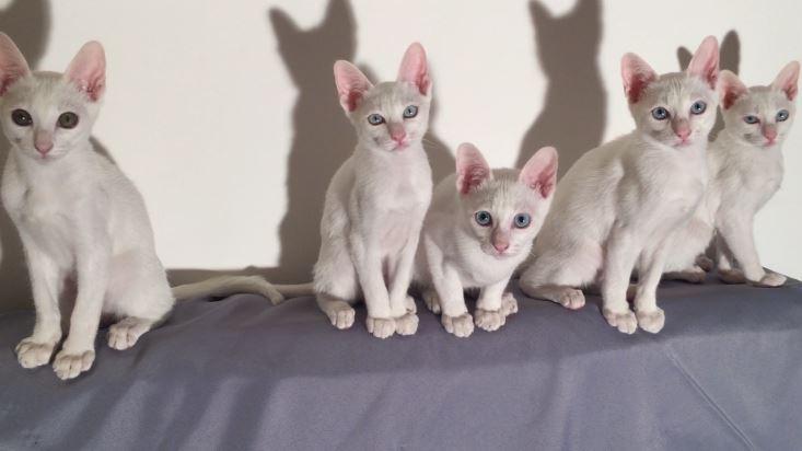 Khao Manee Top Most Famous Bizarre Cat Breeds 2018
