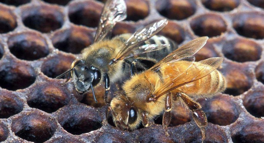 killer-honey-bees