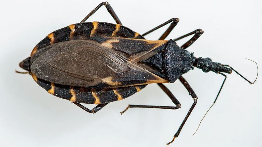 kissing-bug-top-most-famous-deadliest-insects-in-the-world-2019