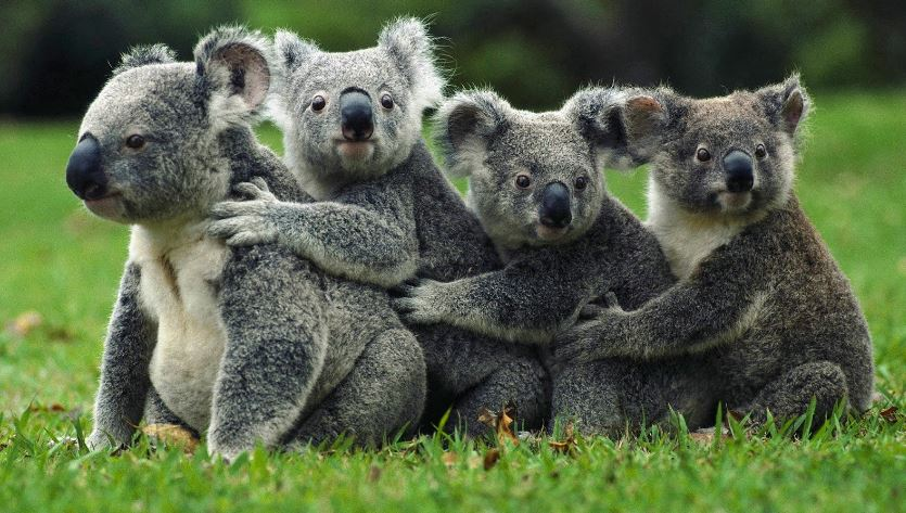 koala-bear-top-most-popular-slowest-animals-in-the-world-2018