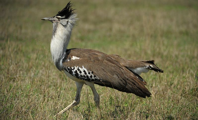 kori-bustard-top-10-largest-and-heaviest-living-birds-in-the-world