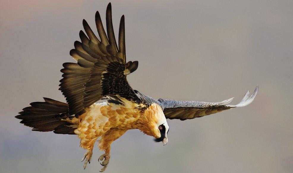 lammergeier-top-ten-famous-dangerous-birds-on-the-world-2018