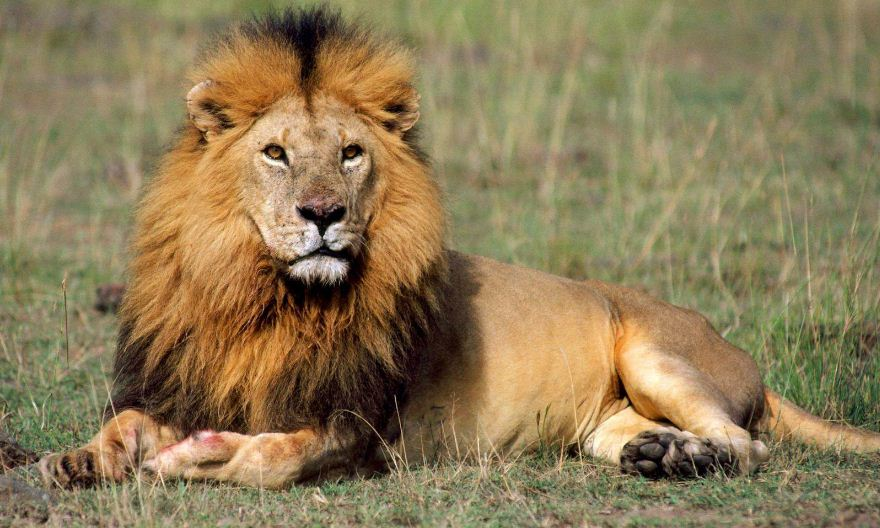Lion Top Most Famous Fastest Animals in The World 2019