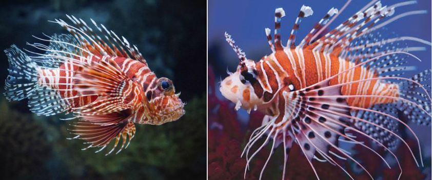 lionfish, Top 10 Most Beautiful Fishes in The World 2017