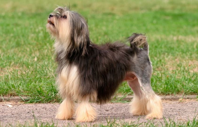 lowchen-top-popular-expensive-dog-breeds-2019