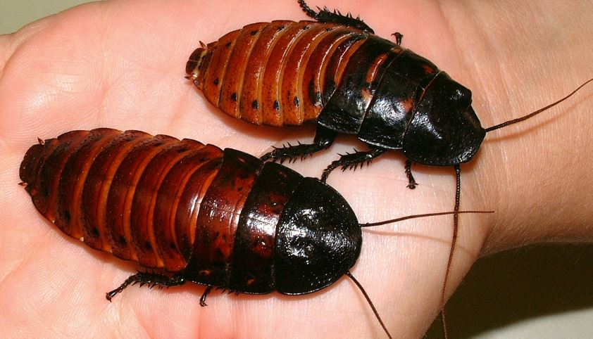madagascar-hissing-cockroach-top-most-famous-selling-exotic-pets-in-the-world-2018