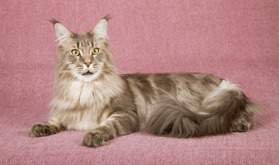 maine-coon-top-most-famous-selling-cat-breeds-in-america-2019