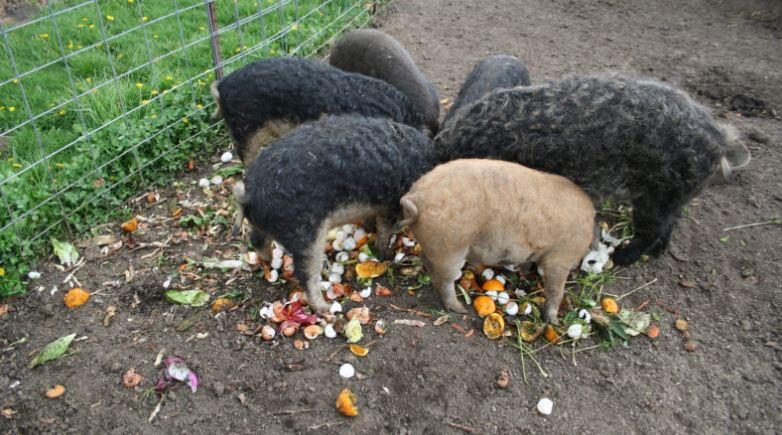 mangalitsa-or-sheep-pig