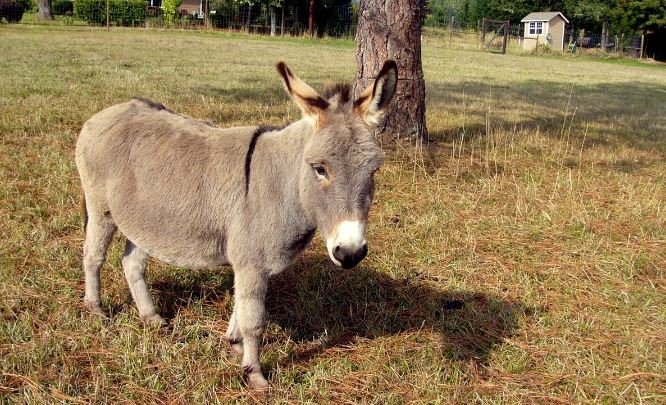 Miniature Donkey Top Most Popular Selling Exotic Pets in The World 2018