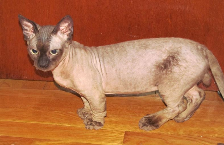 minskin-top-most-popular-bizarre-cat-breeds-2018