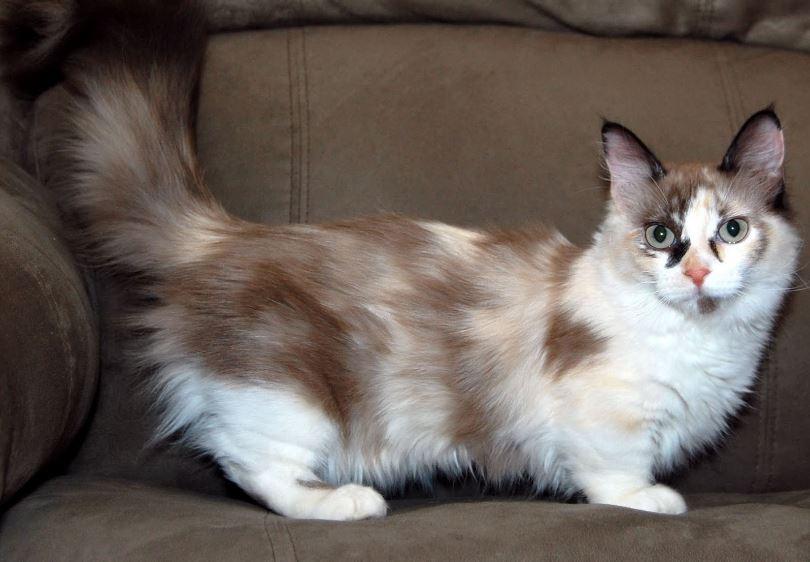 munchkin-top-famous-bizarre-cat-breeds-2019