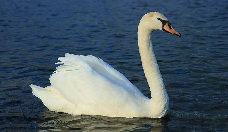 mute swan, Top 10 Largest And Heaviest Living Birds in The World 2018