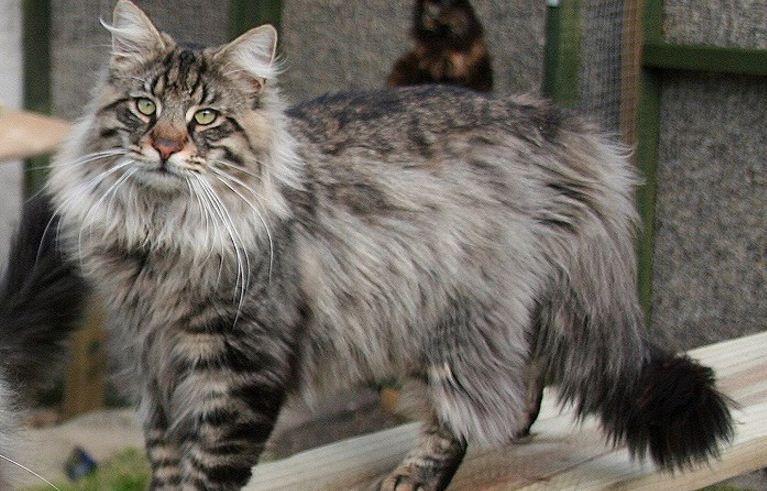 norwegian-forest-top-most-famous-largest-cat-breeds-in-the-world-2019