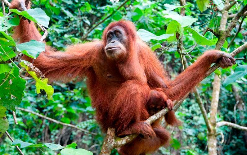 orangutan-top-most-famous-amazing-monkeys-breed-2019